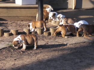 Young male and female English Bulldog puppies ready for new home